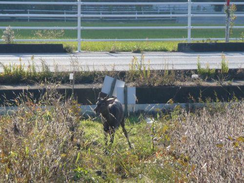 <国道沿いで見かけた牡鹿>