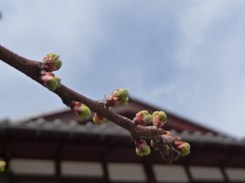 <家の庭のスモモのつぼみ 春はすぐそこ>