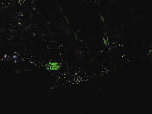 <glowfly>