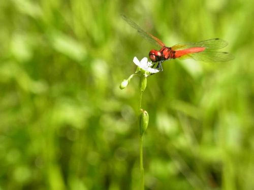 <モウセンゴケの花に留るハッチョウトンボ(日本最小)>